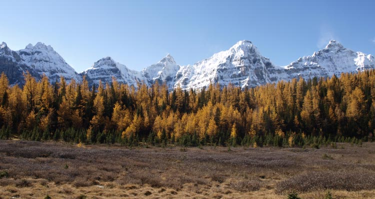 A forest of orange larch trees sit between a meadow and snow-capped mountains.