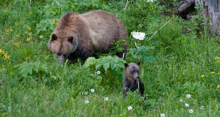 A grizzly bear mother and cub forage for plants in tall grass.