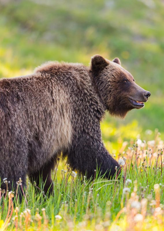 A grizzly bear walks through a meadow of grass and dandelions
