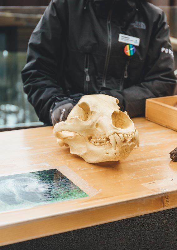 An interpretation table set up showcasing a bear skull cast and other artifacts.