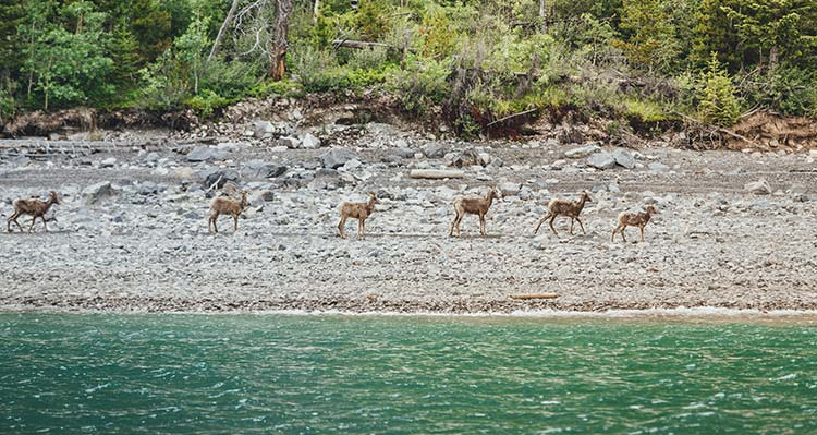 A group of bighorn sheep on a rocky lakeshore.