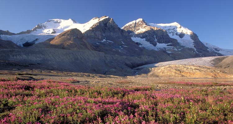 A view of snow-covered mountains past a field of pink flowers.