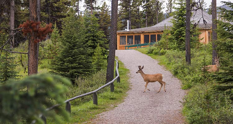 A deer walks across a gravel walking path between the forest..