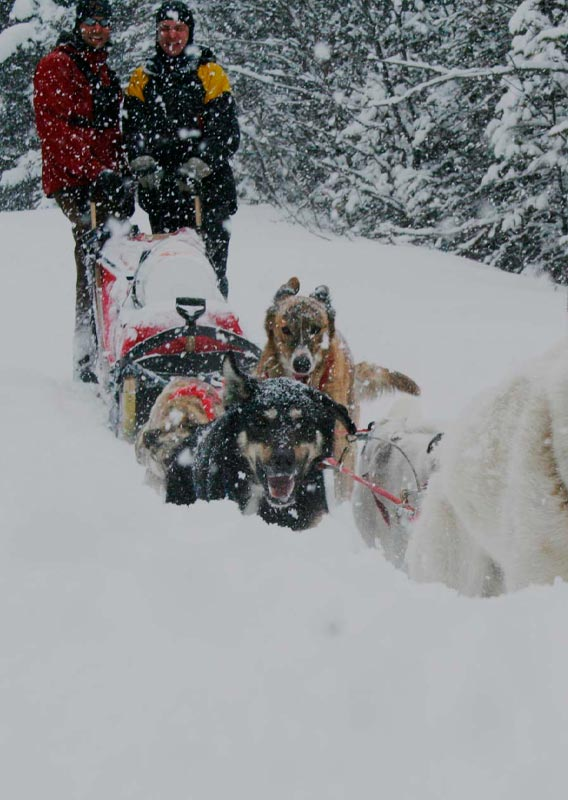 A group of dogs pull a sled through deep snow.