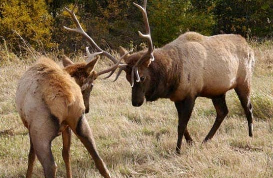 Two elk get ready to lock antlers.